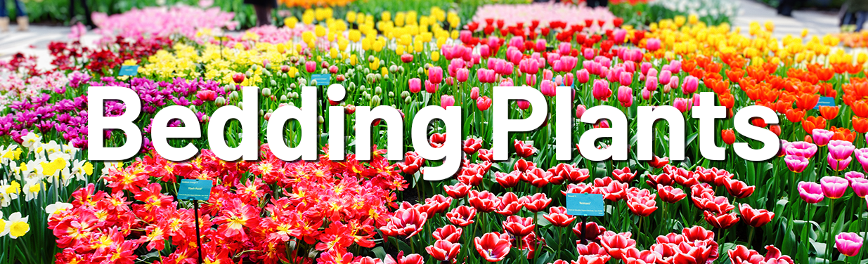 Bedding Plants The Great Big, What Is Meant By Bedding Plants
